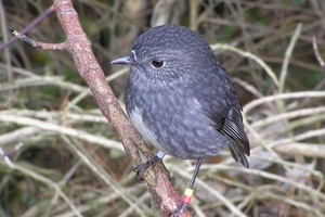 The North Island Robin is endemic to the North Island of New Zealand.Photo / Creative Commons