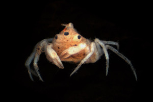 The three-eyed freshwater crab was found in a Kaipara Coast river.