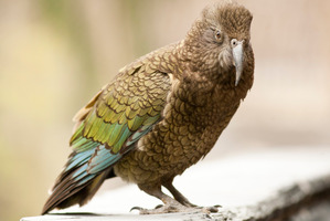 The kea is now considered a threatened species.