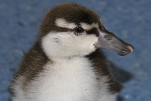 Little whio duckling. Photo / Orana Wildlife Park