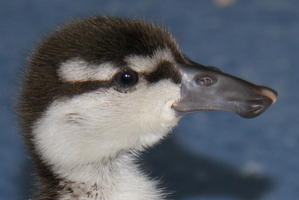 Baby blue duckling. Photo / Orana Wildlife Park