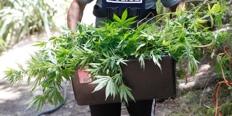 HAUL: Last season Northland police destroyed more than 48,000 cannabis plants. PICTURE/Michael Cunningham