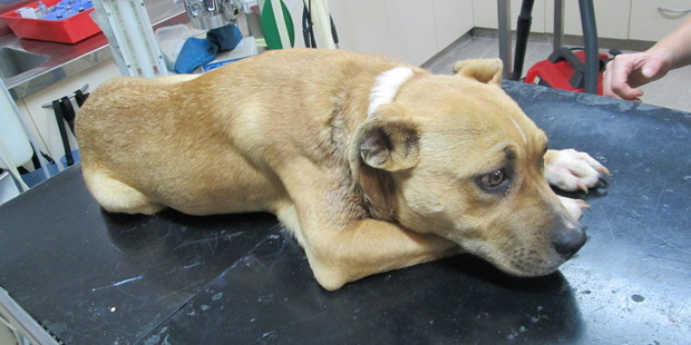 The wound on Matthews' Staffordshire-cross dog, Gurly, was discovered by a visiting SPCA inspector