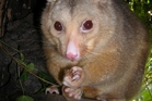 Possums eat new growth, compete with native birds for food, and sometimes eat their eggs or disturb nests.