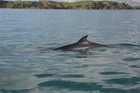 A juvenile Bryde's whale cruises along the Motuihe Channel.