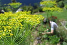 Allowing fennel, and some other herbs, to go to flower is a good idea as it attracts beneficial insects. Photo / Meg Liptrot