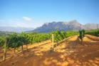Vineyard in Stellenbosch, South Africa. Photo / Supplied.
