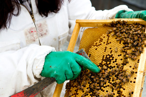 Beekeeper Kim Kneijber tends to the bees. Photo / Babiche Martens.