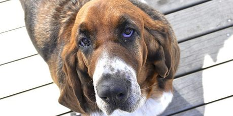 "DOGGONE: Basset hound Simi was put up for sale on Trade Me after her owner thought she had gone to a ""good home''."