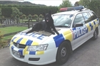NO SICK PUPPY: Gus the police dog is back sniffing out crime. PHOTO/SUPPLIED