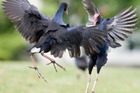 Pukeko respond to changes in the size of their red beak shield. Photo / Amos Chapple