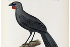 A 19th-century painting of a South Island kokako. Two people claimed to have sighted the rare bird in 2007.