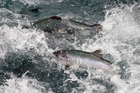 SeaDragon wants to produce higher value fish oils from salmon. Photo / Sarah Ivey