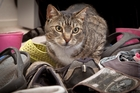 Tabby the cat has stolen about 50 shoes in the past month. Photo/Andrew Warner.
