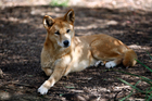 A dingo relaxes at the Healesville Sanctuary.
