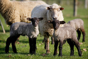 Beef and Lamb NZ said the volume of lamb exported was expected to fall 9%. Photo / NZ Herald