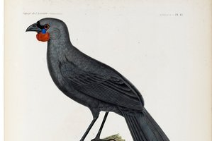 Is the South Island kokako extinct? Maybe not. Painting by Jean Gabriel Pretre