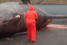 A dead sperm whale has exploded in the Faroe Islands. Image / Faroese Broadcasting Corporation