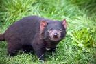 A Tasmanian Devil. Photo / Thinkstock