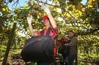 Kiwifruit prices eased during the period. Photo / APN