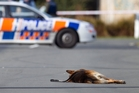 Gage, a  6-year-old police dog, lies dead on the road after being shot in July 2010.  Photo / Simon Baker
