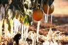 Misters run on frozen oranges in the San Joaquin Valley. Photo / AP