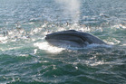 Whales have been seen swimming fast for more than a kilometre toward groups of food. Photo / Richard Robinson