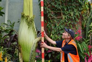Melanie James, Team Leader _ Auckland Domain Nursery and Wintergardens, with the giant Amorphophallus titanum. Photo / Meg Liptrot