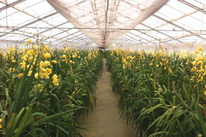 The glasshouses at Florere Nurseries, near Clevedon, supply 9000 of the 300,000 boxes of orchids produced in New Zealand annually.