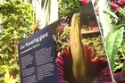 """The rare and giant """"corpse flower"""" had hundreds of people flock to the Botanical Gardens to the Domain in Auckland. It bloomed for the first time in New Zealand."""