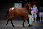 This is what a $1.975 million colt looks like. That's the price Irish horseman Tom Magnier paid for this bay by Fastnet Rock at the Karaka Sales yesterday. Photo / Sarah Ivey