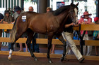 David Ellis paid $620,000 for this High Chaparral-Our Echezeaux colt at Karaka yesterday. Photo / Sarah Ivey
