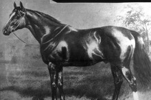 Carbine, one of New Zealand's finest stallions.  Photo / File