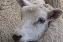 A lamb missing the crucial top-knot, the centre of the World Shearing Records Society judges' decision. Photo / Supplied 