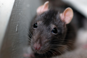 Bubonic plague is carried by fleas found on rats. Photo / Getty Images