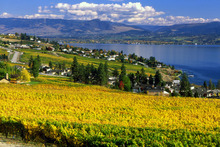 Yellow and green leaves of the vineyards on Okanagan lake near Westbank in the Thompson Okanagan region of British Columbia, Canada.