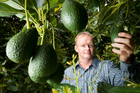 Wayne Reed pictured examining the crop in amongst his organic avocado orchard near Katikati in the Bay of Plenty. Mr Reed is now supplying an Auckland supermarket directly with organic avocados he pic