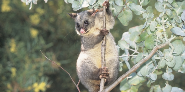 Native bird populations have suffered heavy blows because of possums.