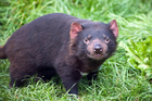 Tasmanian devil. Photo / File