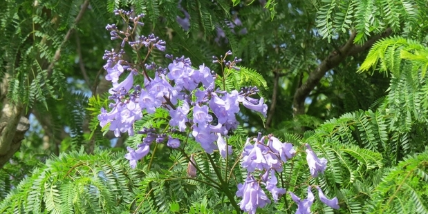 The blessing tree arborists and green fingered gurus call jacaranda.Photo/File