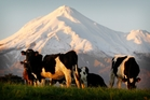 Dairying, reinforced by sheep and beef, led the surge in agricultural activity. Photo / NZ Herald