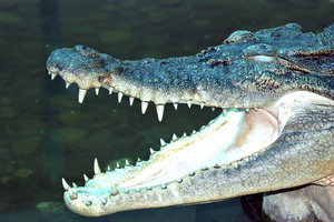 The man received a citation for illegally capturing and trying to sell the alligator. Photo / Thinkstock