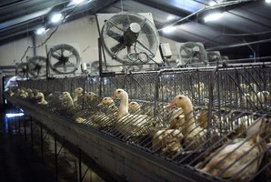 Ducks in cages at a foie gras factory in Saint-Michel, eastern France. Photo / AFP