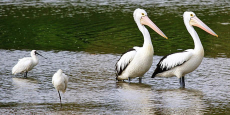 Pelicans on the Patea River. Photo/Suzi Hurley