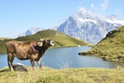 A cow in the Swiss Alps, not in Sweden.
