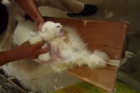 An image from PETA's video on the production of Angora products.
