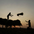 Indian farmers load paddy bundles onto a bullock cart after harvest on the outskirts of Bhubaneswar, India. Photo / AP