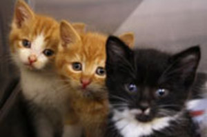 Three of the kittens who are looking for a home. Photo / SPCA