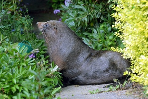 The fur seal in Andersons Bay. Photo / Otago Daily Times
