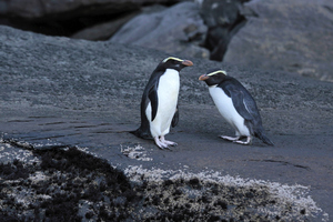 Fiordland Crested Penguins. Photo / Thinkstock